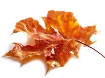 Red dry maple leaf Stock Photos