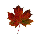 Red dry Maple leaf isolated on white background. Royalty Free Stock Photography