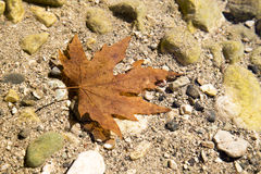 Red dry maple leaf in the river water Royalty Free Stock Photo