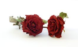Red dry rose Royalty Free Stock Photos