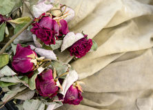 Red dry roses  on beige background Stock Image