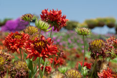 Red dryed gazania flowers in the garden Stock Photography