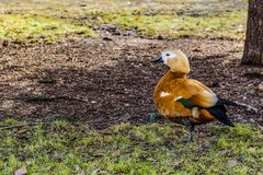 The red duck rest on one leg on the first spring grass after a cold winter Royalty Free Stock Photo