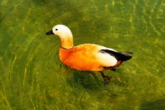 Red duck (Ruddy Shelduck). Is floating in crystal clear green water Stock Photos