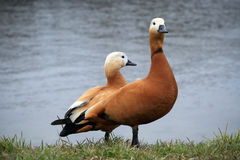 Red ducks Ohar. Ruddy Shelduck or Red ducks on a pond in a public Park Sokolniki in Moscow Royalty Free Stock Photo