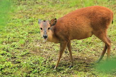 Red duiker. The red duiker in the grass Royalty Free Stock Photos