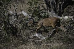 Red duiker in the bush of the Tembe Elephant park.  Royalty Free Stock Photography