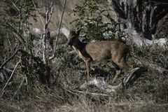 Red duiker in the bush of the Tembe Elephant park.  Stock Photo