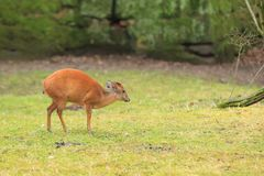 Red duiker. Standing in the grass Stock Images