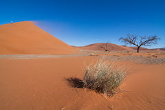 Red dune and dead tree Royalty Free Stock Photos