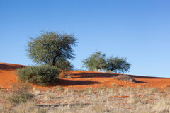 Red dune Kalahari. Red dunes of kalahari desert, dry grass land and some bushes and trees under blue sky, Namibia, Africa stock photography