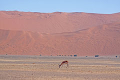 Red dunes of sossusvlei Royalty Free Stock Photo