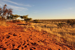 Red dunes at sunset, kalahari. Bush, yellow grass and red sand on dunes in namibian desert, at sunset Stock Photos