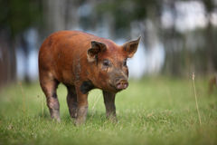 Red Duroc Piglet Stock Image