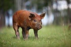 Red Duroc Piglet Stock Image