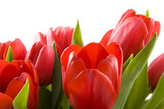 Red dutch tulips Stock Photos