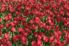Red dutch tulips in the garden stock image