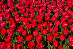 Red Dutch tulips Royalty Free Stock Photos