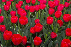 Red Dutch tulips Royalty Free Stock Photo