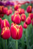 Red dutch tulips. Red with yellow stripes dutch tulips Royalty Free Stock Images