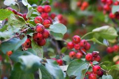 Red dwarf apples on  branch Royalty Free Stock Photography