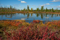 Red dwarf birch in autumn on the lake. Stock Photography