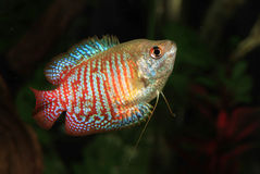 Red Dwarf Gourami Stock Photo
