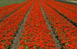 Red dwarf tulips Royalty Free Stock Images