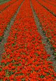 Red dwarf tulips Royalty Free Stock Photos