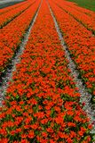 Red dwarf tulips Royalty Free Stock Image
