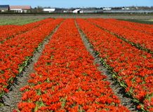 Red dwarf tulips Royalty Free Stock Photo
