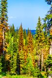 Red, dying Pine Trees due to Pine Beetle attacks in Sun Peaks in BC Canada stock photo