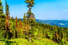 Red, dying Pine Trees due to Pine Beetle attacks in Sun Peaks in BC Canada. Red, dying Pine Trees due to Pine Beetle attacks on Tod Mountain near the alpine royalty free stock photography
