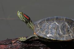 Red-Ear Slider Terrapin. Red ear slider turtle on a log Royalty Free Stock Photo