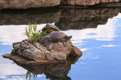 Red Ear Slider Turtles on Rock in Pond Stock Image