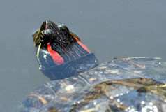Red Ear Turtle royalty free stock photo