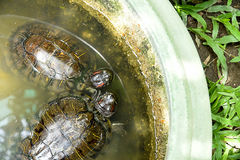 Red - ear turtle Royalty Free Stock Image