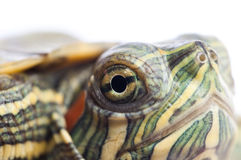 Red ear turtle studio isolated Royalty Free Stock Photos
