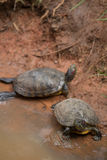 Red ear turtle Stock Images