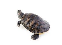 Red ear turtle  on white Stock Photos
