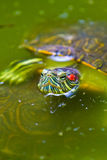 Red eared Mexican Turtle Stock Photos