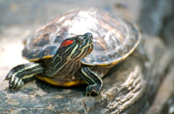 Red-eared slider Stock Photography