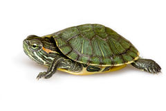 Free Red-eared Slider Stock Images - 11359154