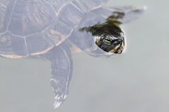Red Eared Slider Stock Photo