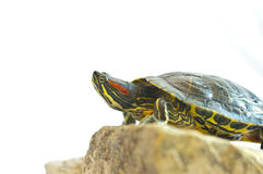 Red-eared slider Stock Image