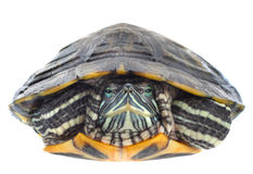 Red-eared slider Stock Photos