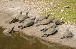 Red-eared slider. Group of curious turtles on the shore Royalty Free Stock Image