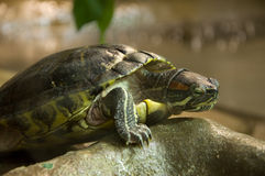 Red-Eared Slider Stock Photo