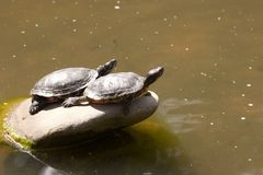 Red-Eared Slider Royalty Free Stock Photos
