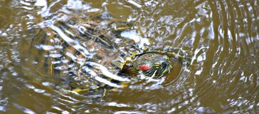Red Eared Slider, Also known as the Red Eared Terrapin stock photo